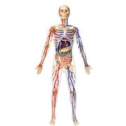 アオシマ 人体解剖モデル20 全身解剖スケルトン