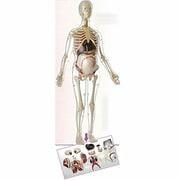 MK064 [人体解剖模型 56cm 妊婦全身]