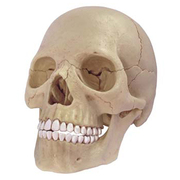 立体パズル 4D VISION 人体解剖 No.23 1/2 頭蓋骨解剖モデル [2018年4月再販]