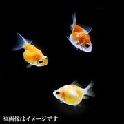 ピンポンパール Sサイズ 2-3cm 5匹セット [金魚]