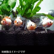 ピンポンパール Mサイズ 3匹セット [金魚]
