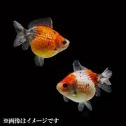 キャリコピンポンパール ショートテール 当歳 3匹セット [金魚]