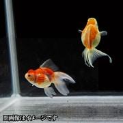 更紗浜錦 当歳 3匹セット [金魚]