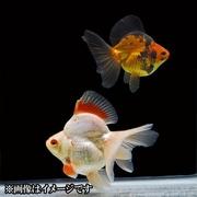 琉金 ブロードテール 当歳 3匹セット [金魚]