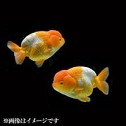 更紗らんちゅう 当歳 3匹セット [金魚]