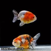 江戸錦 当歳 3匹セット [金魚]