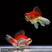 蝶尾 当歳 3匹セット [金魚]