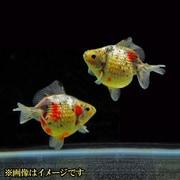 金魚王子 キャリコピンポンパール ショートテール 当歳 3匹セット