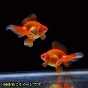 金魚王子 レッド琉金 ブロードテール 当歳 3匹セット