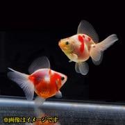 金魚王子 桜琉金 ブロードテール 当歳 3匹セット
