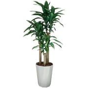 400A300-17 [インテリアグリーン 人工観葉植物 光触媒 幸福の木 1.6m]