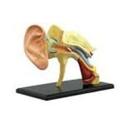 4D VISION 人体解剖モデル 耳解剖モデル [立体パズル No.7]