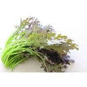 有機農法で作ったサラダからし菜と旬の野菜の詰め合わせ(1.2kg) [有機サラダからし菜 3,980円セット]