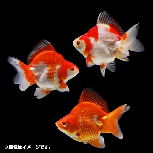 金魚王子 琉金ショートテール 1匹 [金魚]