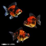 金魚王子 出目金ショートテール 1匹 [金魚]