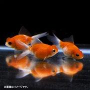 浜錦 1匹 [金魚]