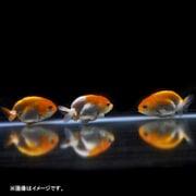 更紗らんちゅう 1匹 [金魚]