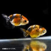 江戸錦 1匹 [金魚]