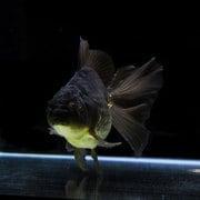 黒オランダ タイブロードテール系統 (21cm前後) 1匹 [金魚]