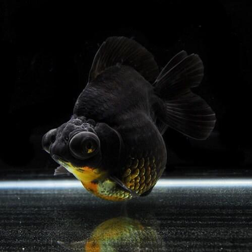 銀鱗三色ショートテール出目金(15.5cm前後) 1匹 [金魚]