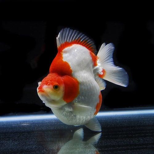 更紗ショートテール琉金 (15.5cm前後) 1匹 [金魚]