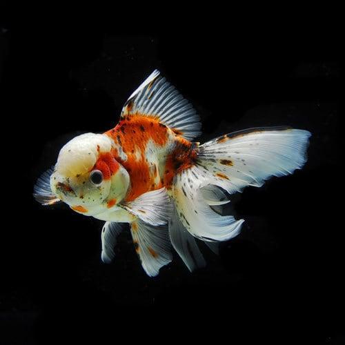 高頭東錦(18.5cm前後) 1匹 [金魚]