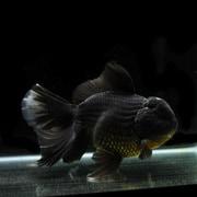 黒ブロードテールオランダ タイ産ブロードテール純血統 (19.5cm前後) 1匹