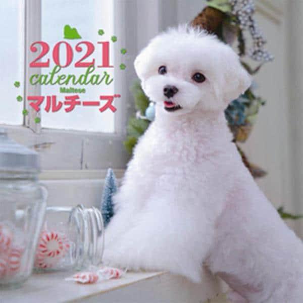 2021年 大判カレンダー マルチーズ(誠文堂新光社カレンダー) [ムックその他]